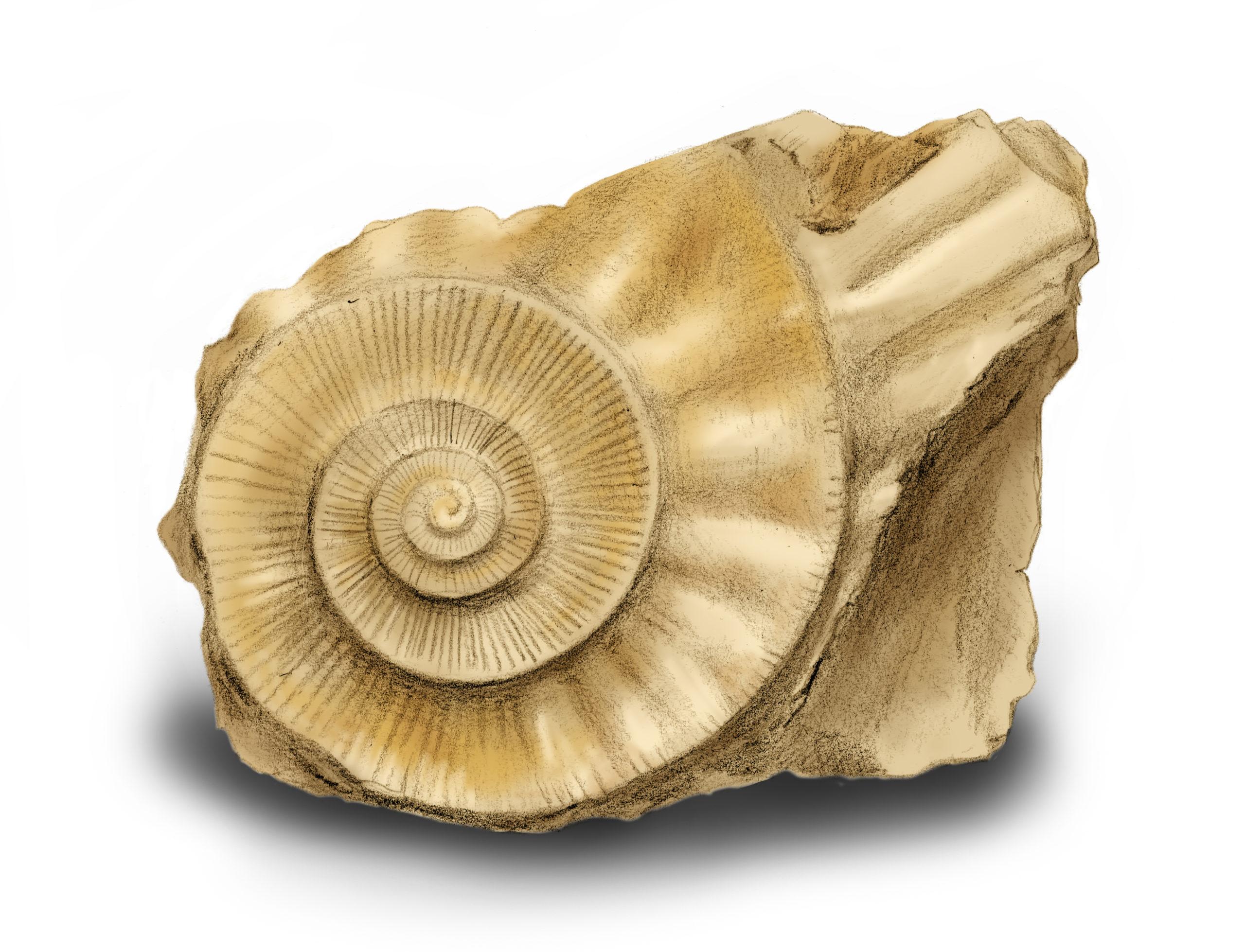 Ammonit-Illustration mit Bleistift