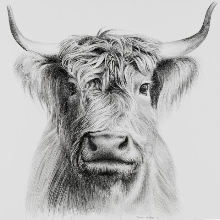 Hochlandrind-Zeichnung mit Bleistift   cow drawing with graphite