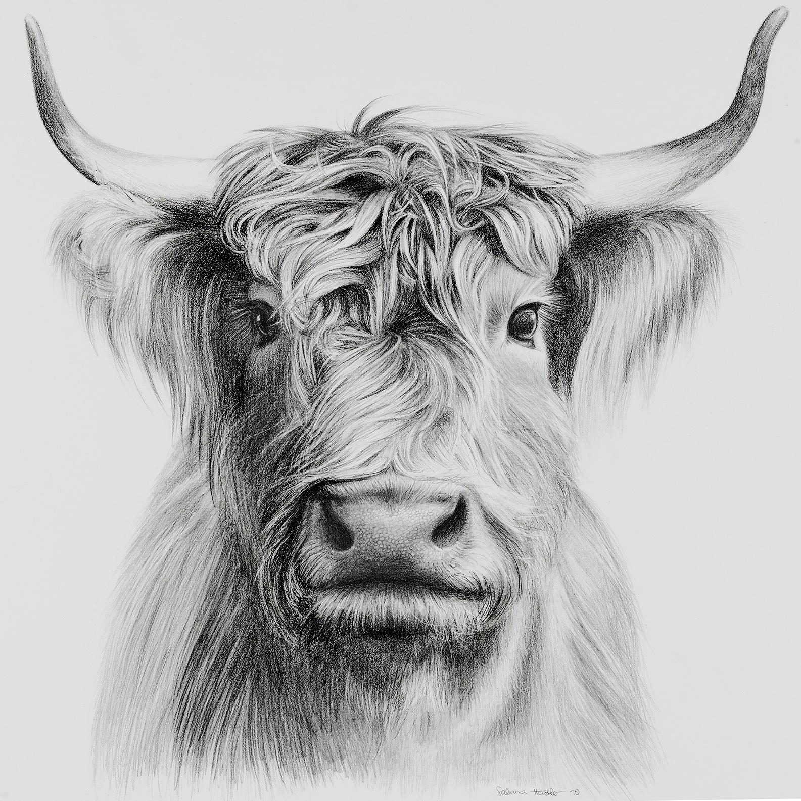 Hochlandrind-Zeichnung mit Bleistift | cow drawing with graphite