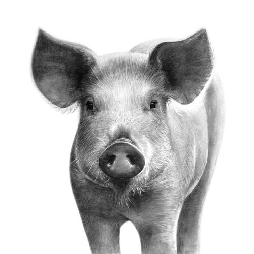 Tierzeichnung Schwein Cover Sabrillu